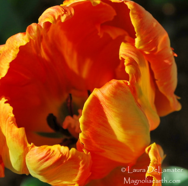 Photograph Parrot Tulip by Laura DeLamater on 500px