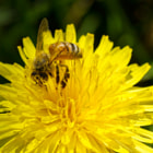 A honey bee, hard at work on a dandelion.   It's easy to see the great job these little guys do at pollinating.