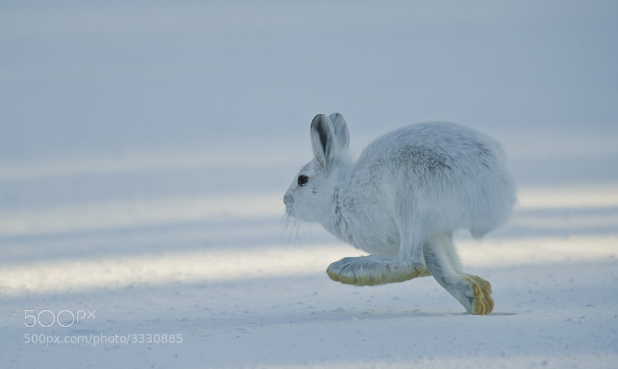 Photograph Arctic Hare by Dan Newcomb on 500px