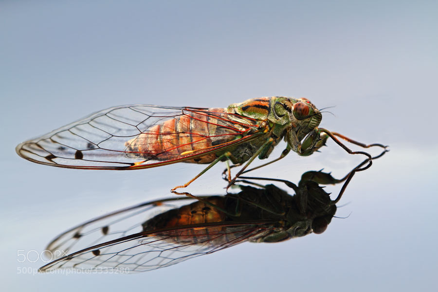 Photograph Cicada by shikhei goh on 500px
