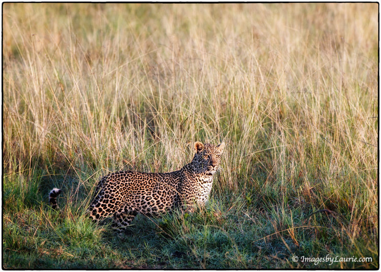 Photograph Leopard in the Light by Laurie Rubin on 500px
