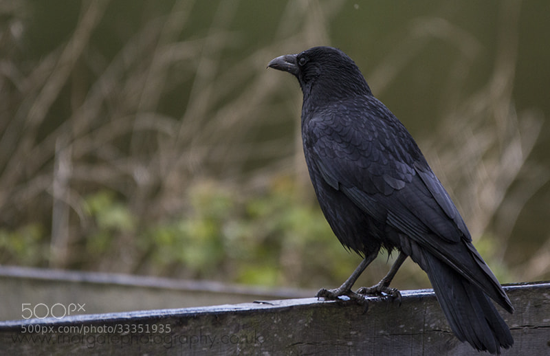 Photograph Evil Menacing Crow by Richard Norgate on 500px