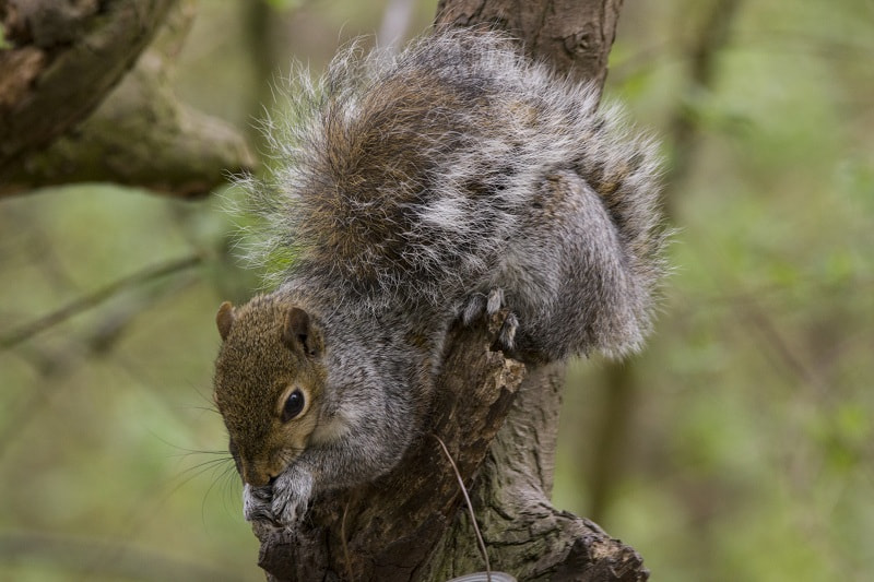 Photograph Grey Squirrel by Richard Norgate on 500px