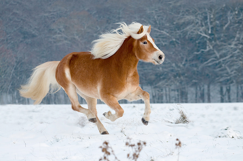 Photograph Haflinger horse by Stefanie Lategahn on 500px