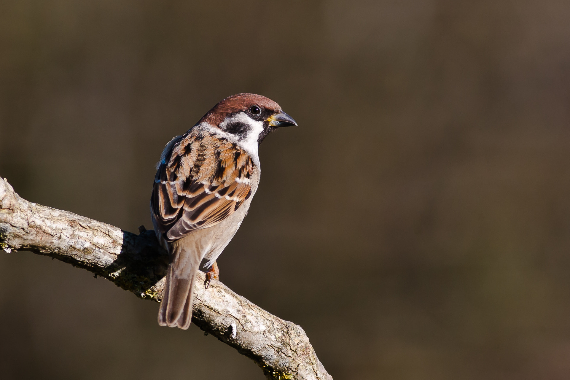 Photograph Tree Sparrow by Craig Nash on 500px