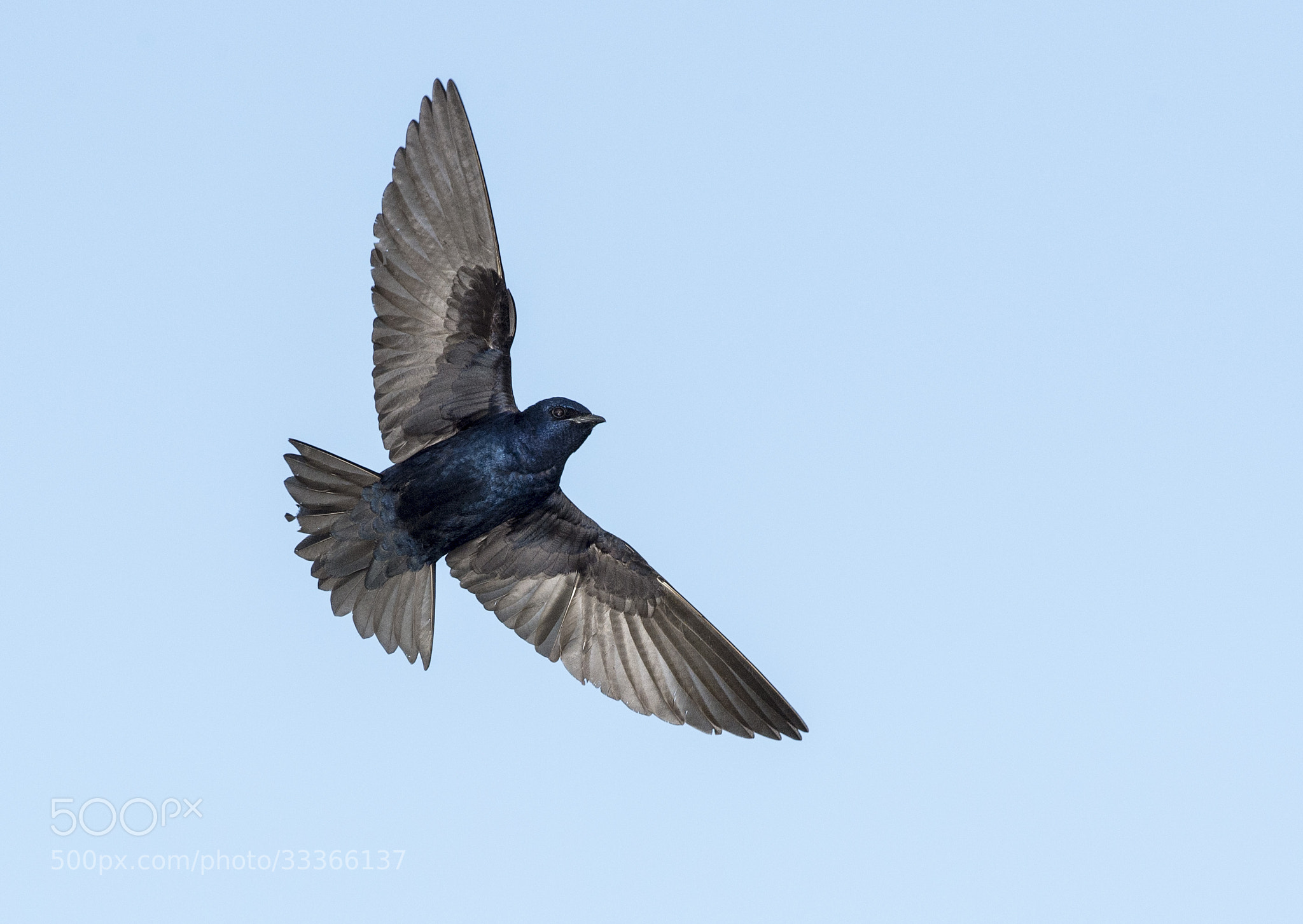 Photograph Purple Martin Male in Flight by Art Peslak on 500px