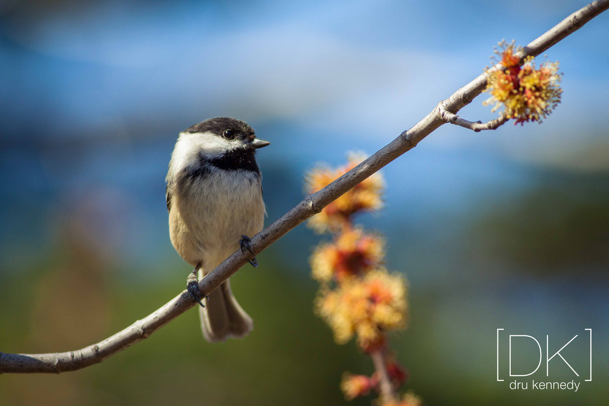 Photograph Afternoon Chickadee by Dru Kennedy on 500px
