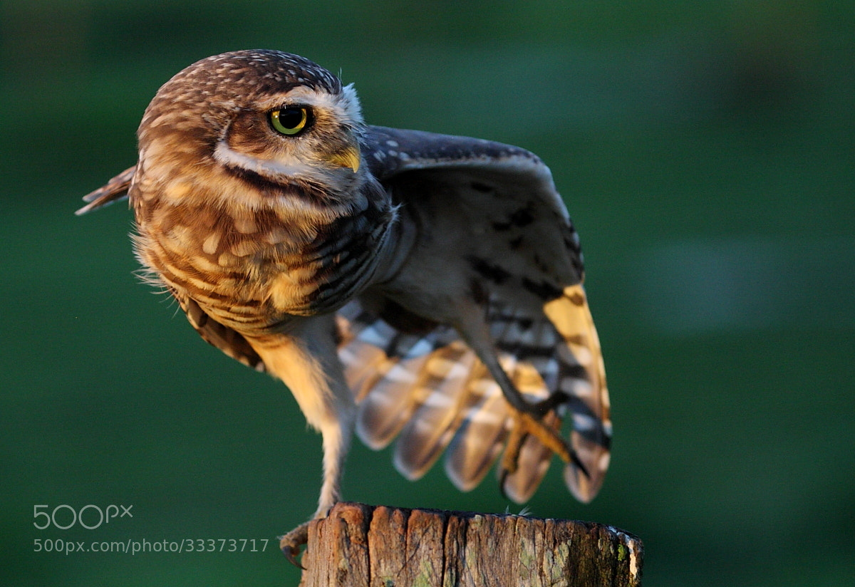 Photograph Burrowing Owl | Athene cunicularia by Demis Bucci on 500px