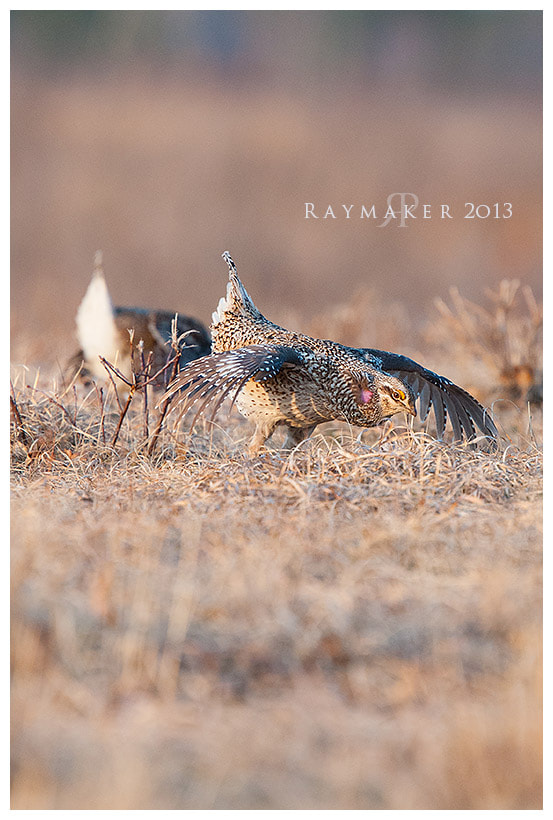 Photograph Sharp-tailed Strut by Paul Raymaker on 500px
