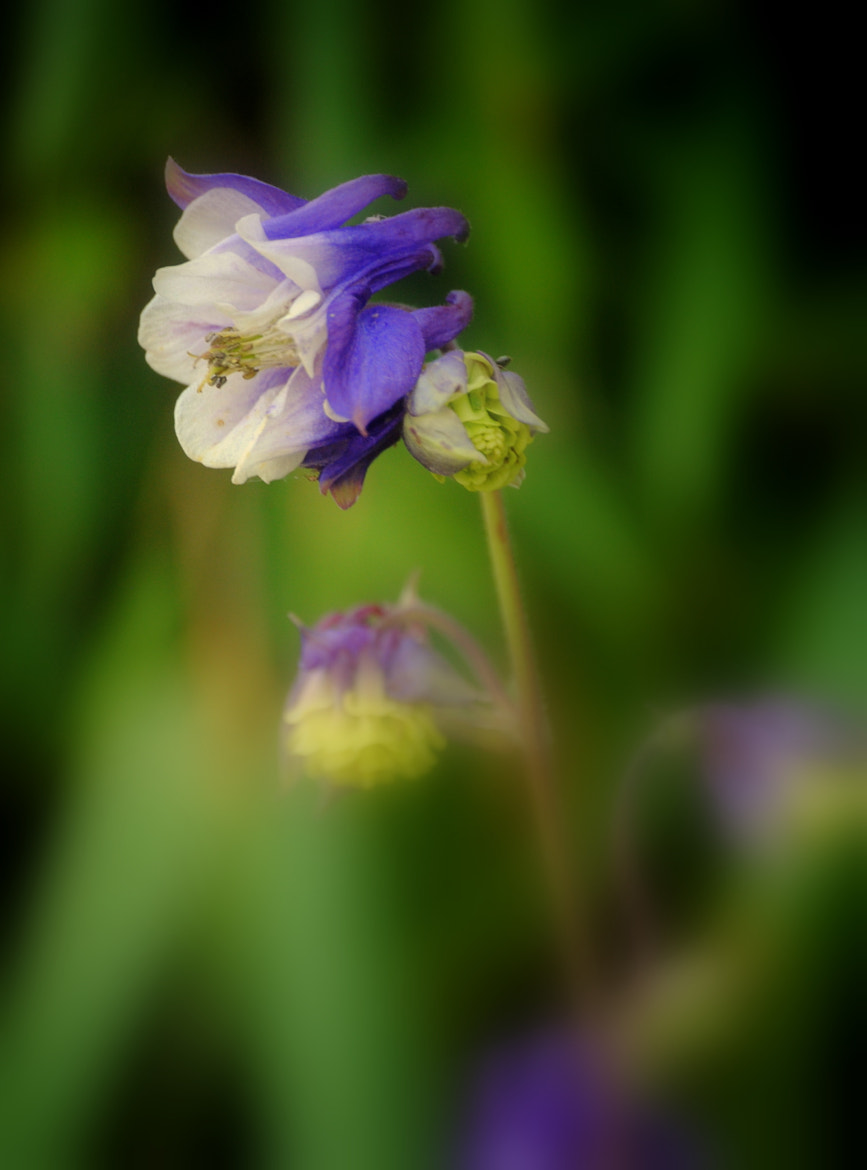 Photograph Columbine Flower by Nate A on 500px