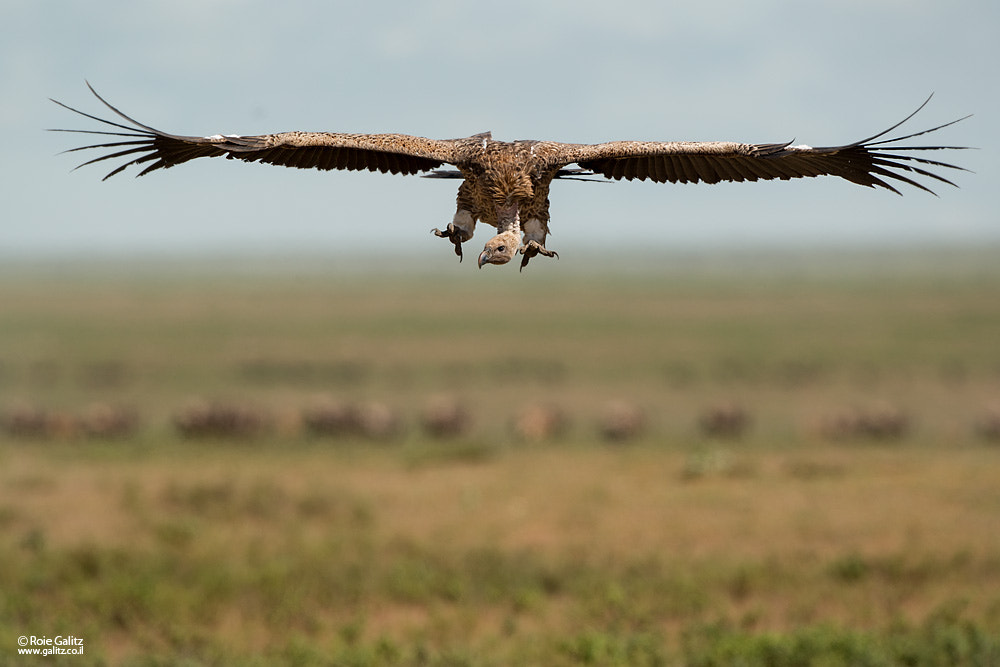 Photograph Vulture Incoming by Roie Galitz on 500px