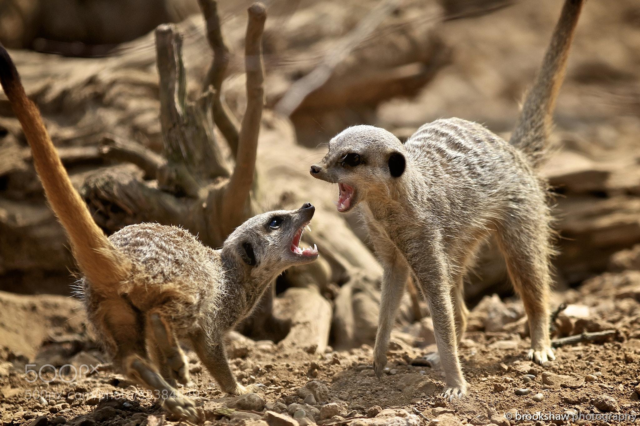 Photograph Cute Meerkats?! by Gary Brookshaw on 500px