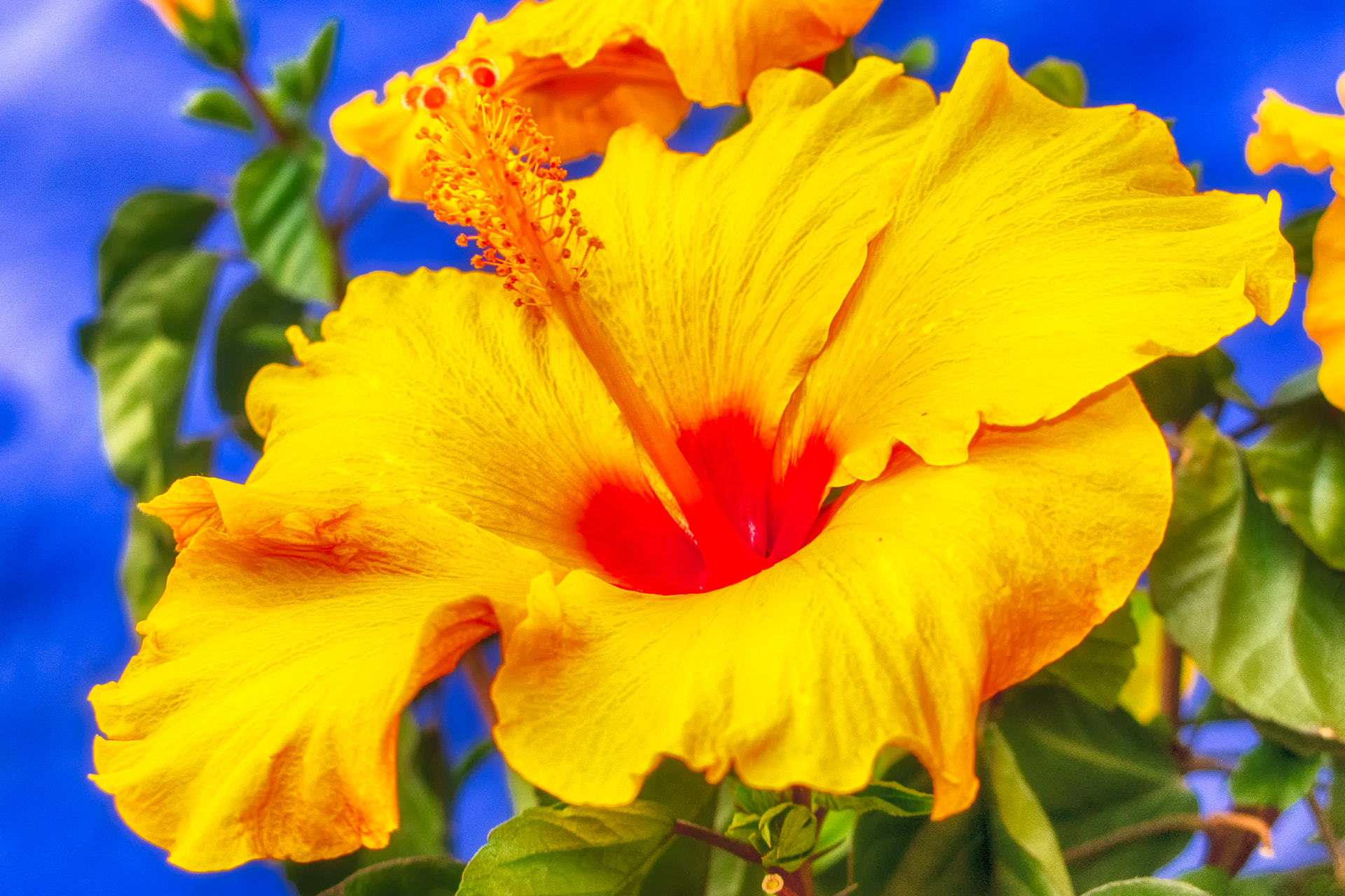 Photograph Hibiscus by Ernst Gamauf on 500px