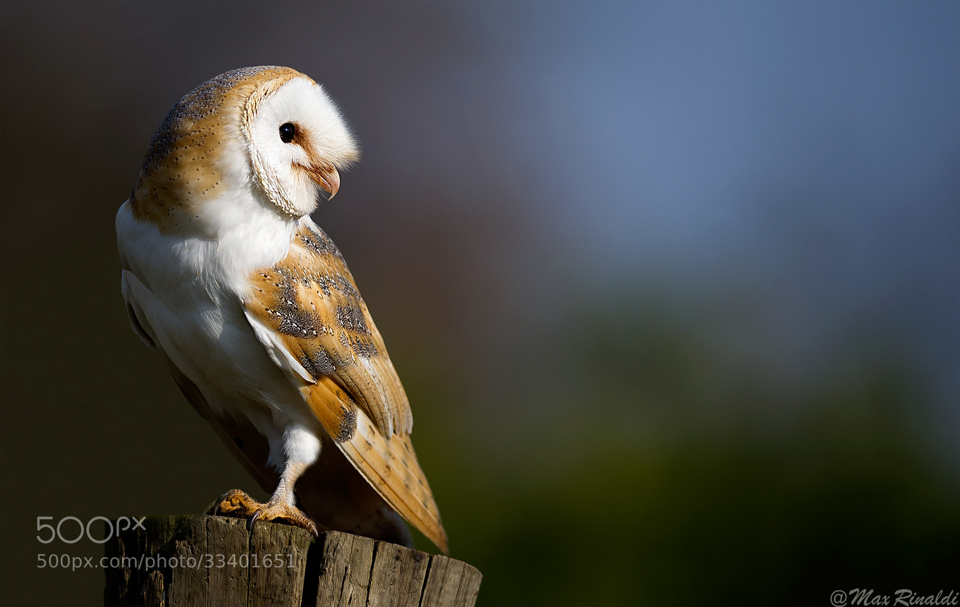 Photograph Barn Owl by Max Rinaldi on 500px