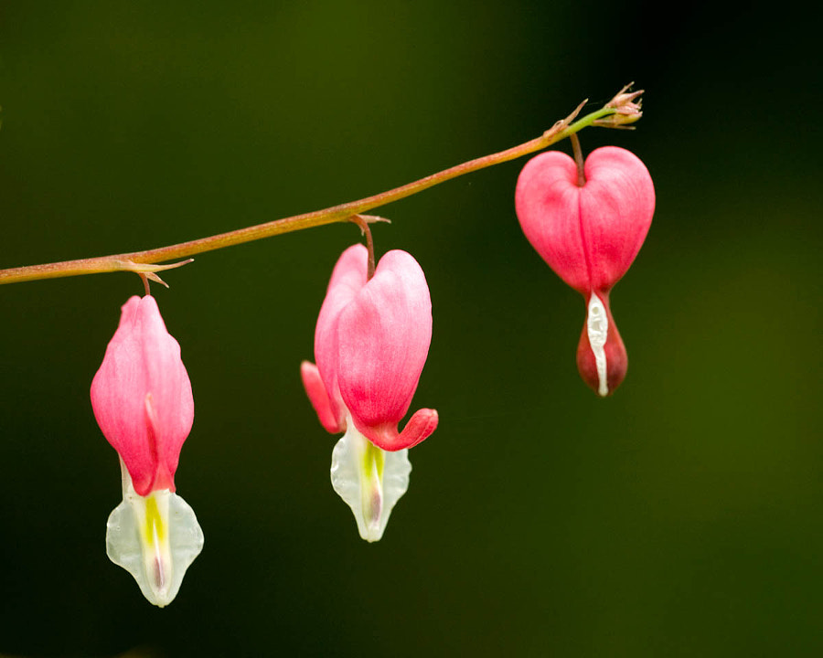 Bleeding Hearts II