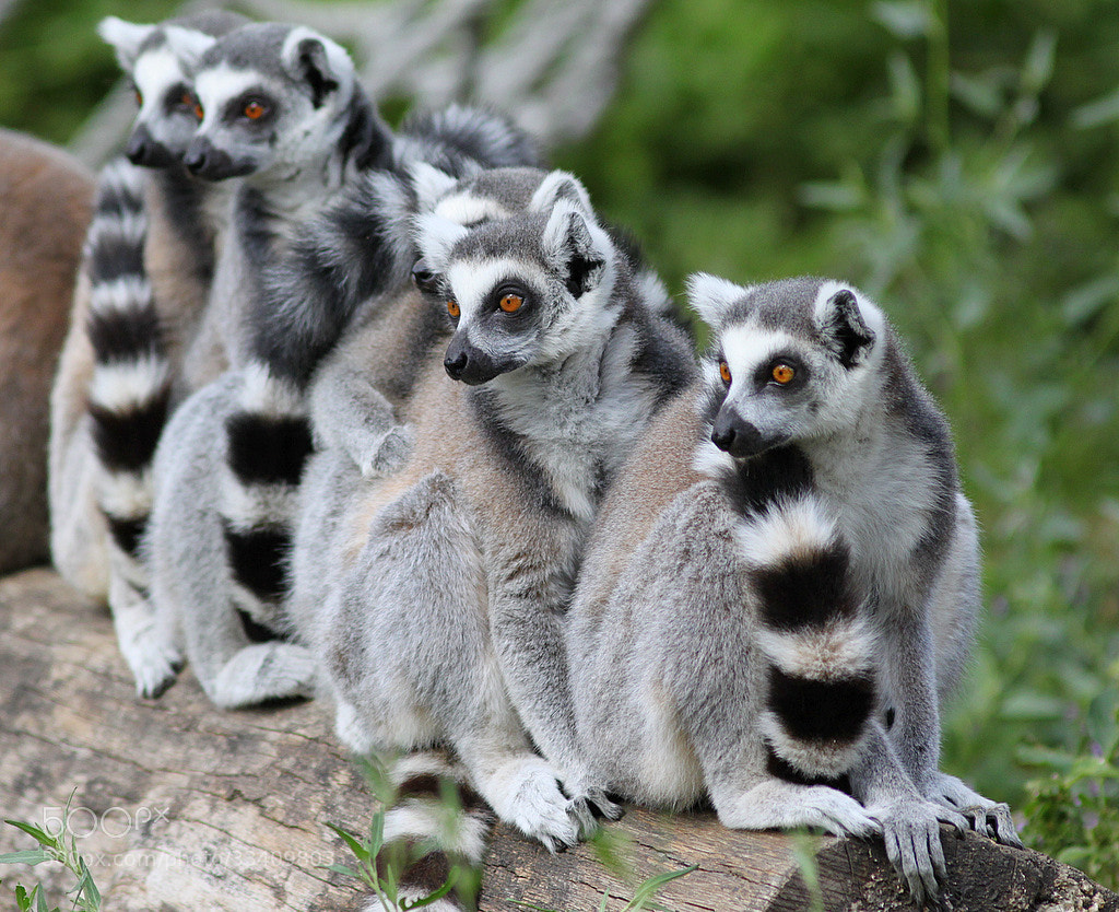 Photograph  Ring-tailed Lemur group by Rainer Leiss on 500px
