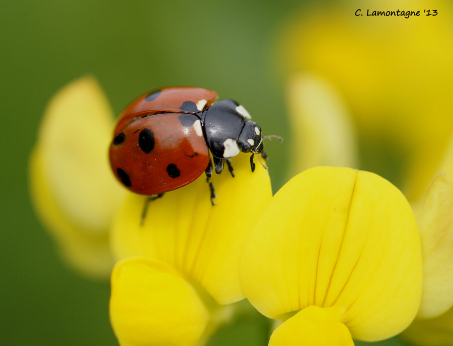 Ladybug on Birdsfoot Trefoil wildflower.