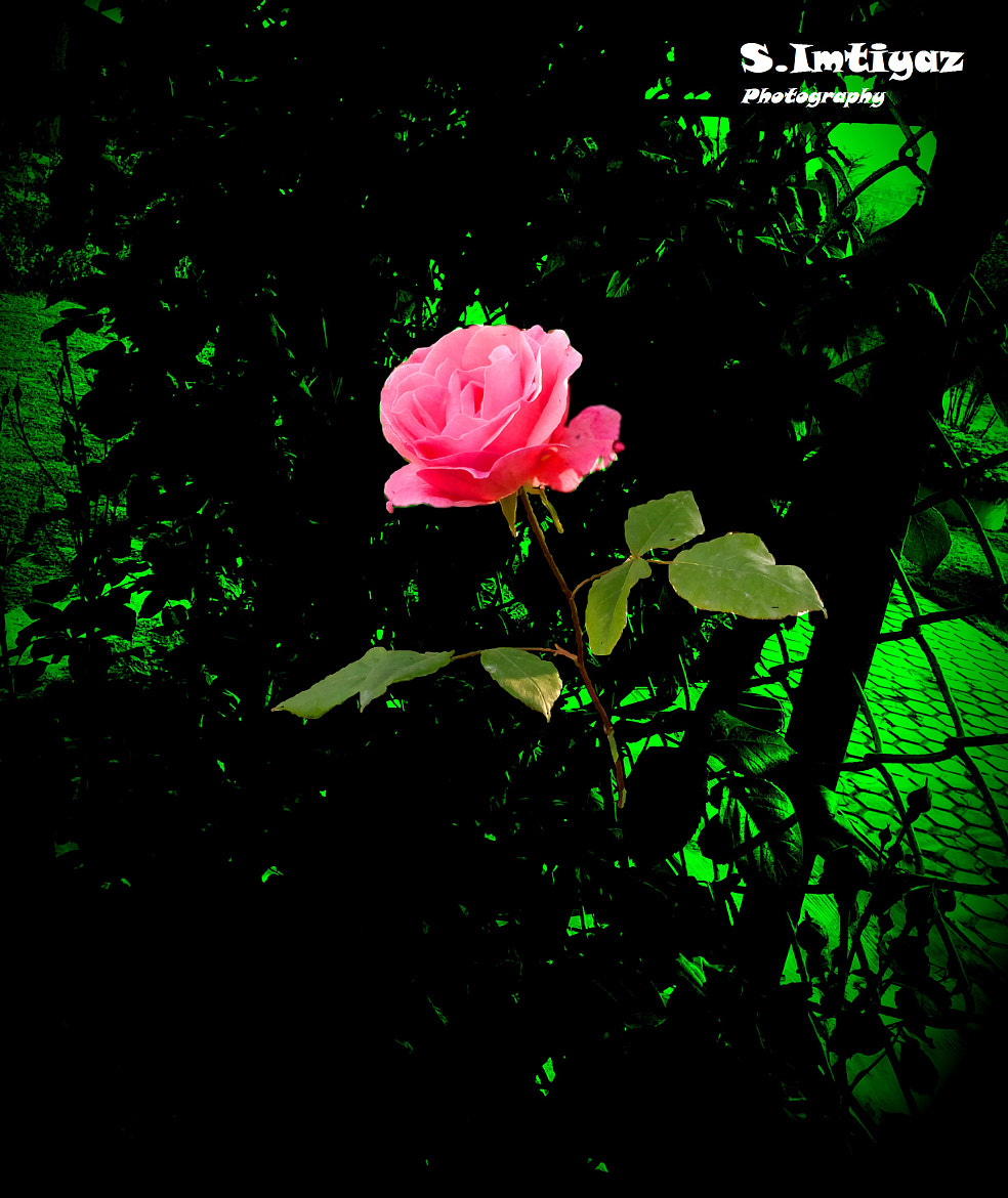 Photograph Rose by Sheikh Imtiyaz on 500px