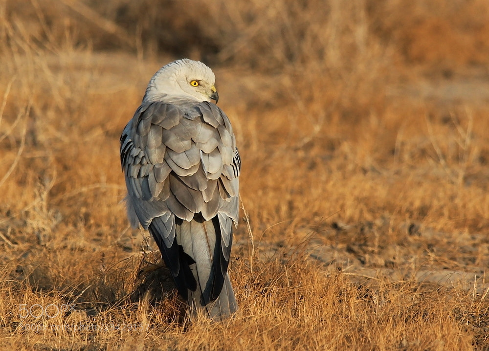 Photograph pallid Harrier (Male) by Bhavya Joshi on 500px