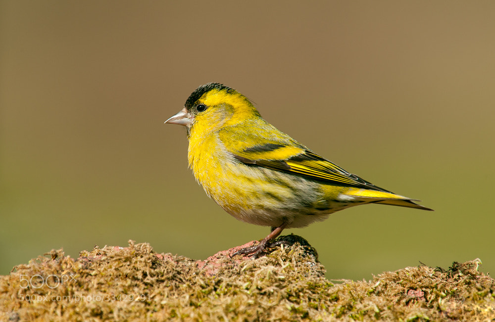 Photograph Male Siskin by Geoffrey Baker on 500px