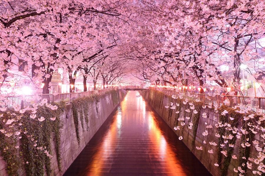 SAKURA Tunnel by Masai Okeda on 500px.com