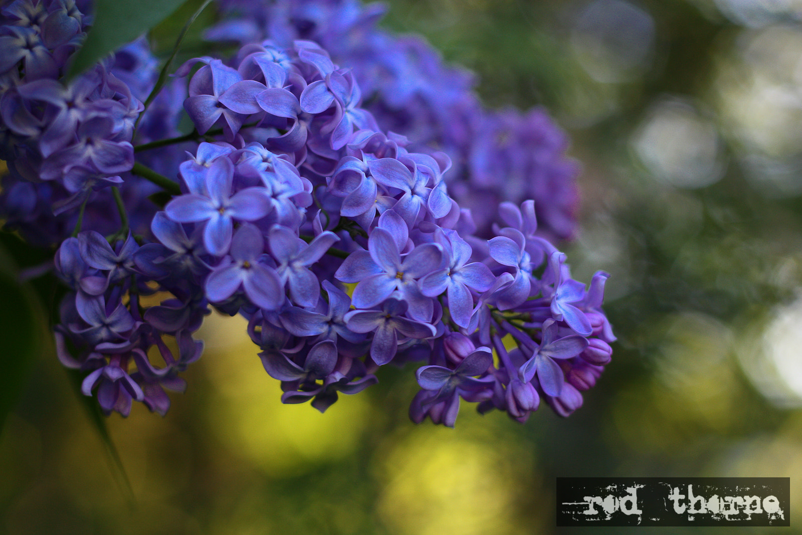 Photograph Lilacs by Rod Thorne on 500px