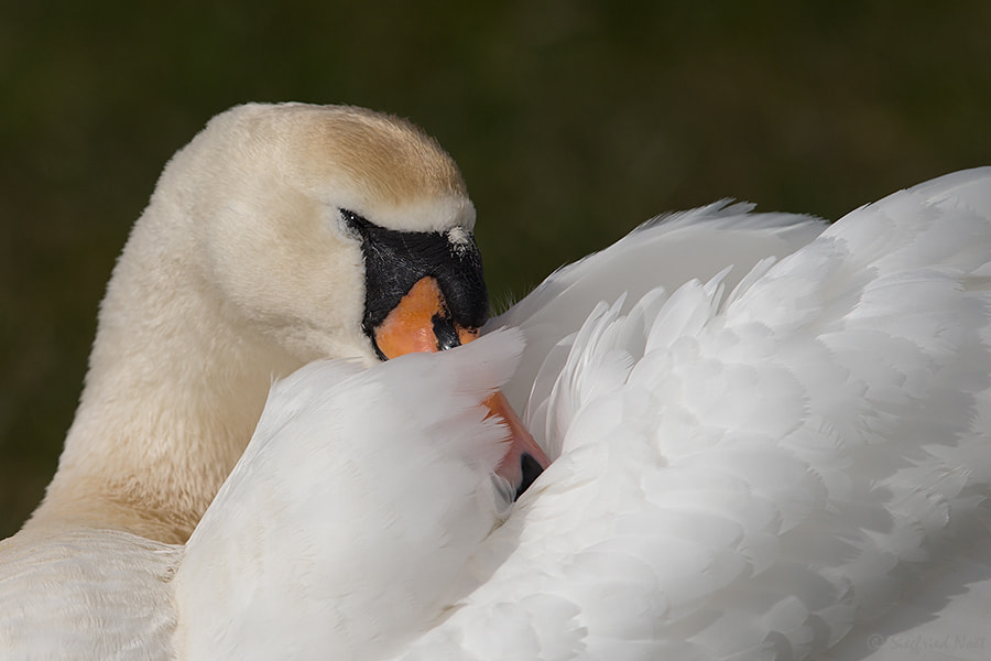 Photograph Mute Swan by Siegfried Noët on 500px
