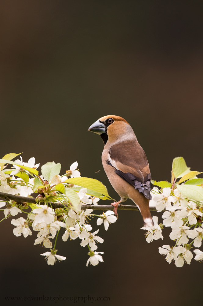 Photograph Hawfinch by Edwin Kats on 500px