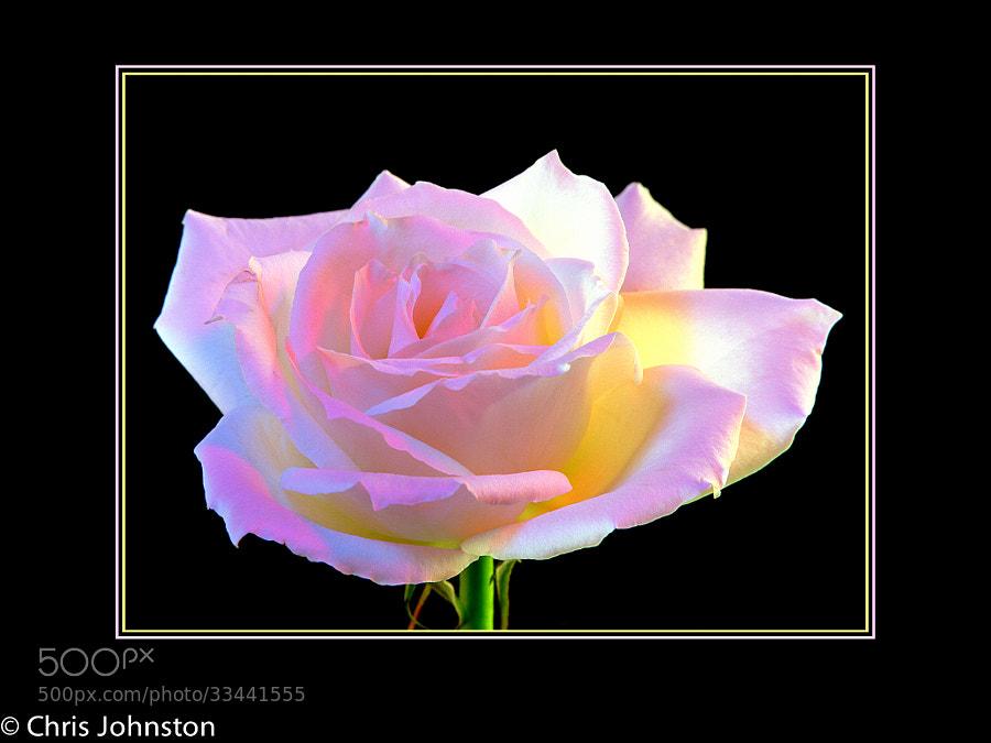 Neon Rose by Christopher Johnston (fuzzylizardstudios)) on 500px.com