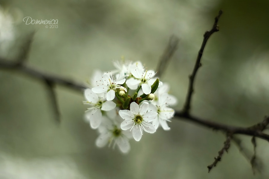 Photograph Blossoms by Dommenica on 500px