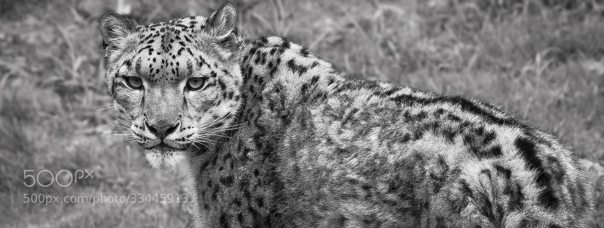 Photograph The Piercing Stare Of A Snow Leopard by Fred Glozman  on 500px