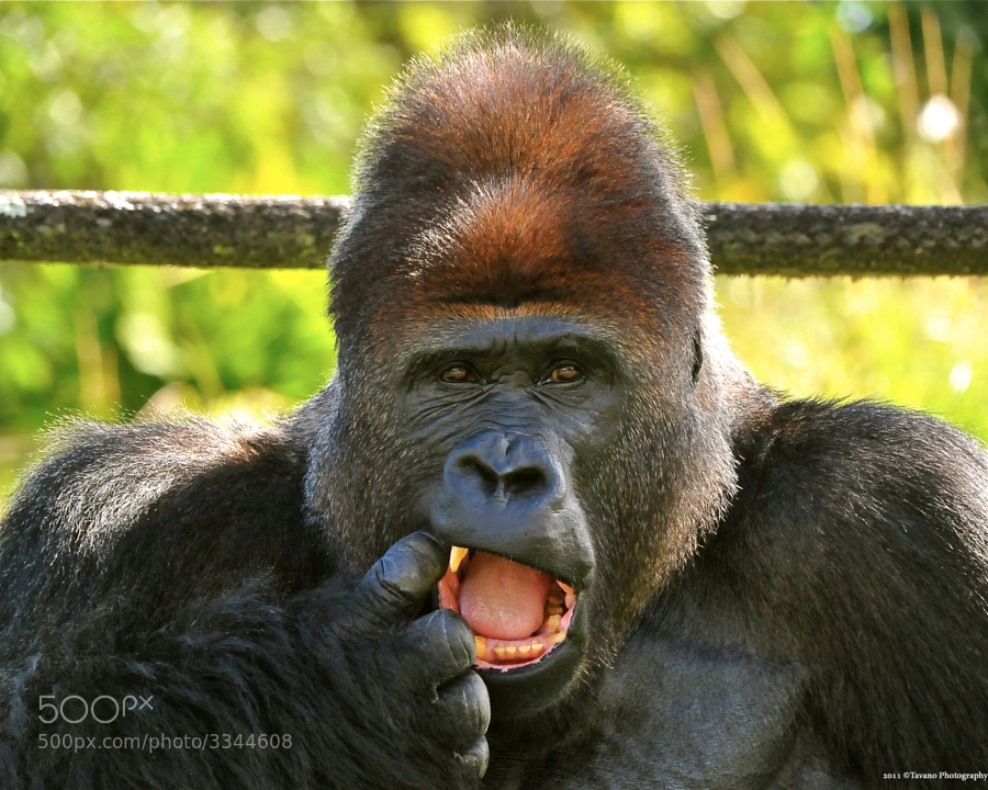 JJ the Silverback shows me where it hurts.
