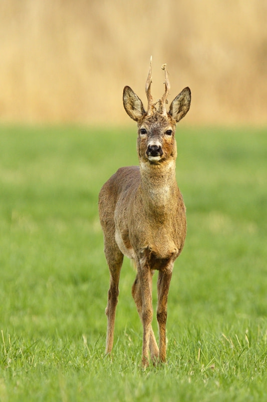 Photograph Stare (Red deer stag) by Ales Gola on 500px