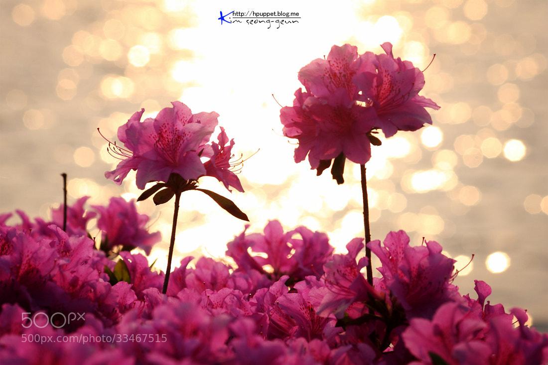 Photograph a royal azalea blossom by kim seong-geun on 500px