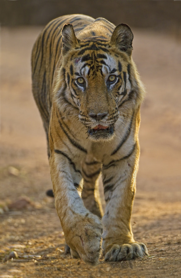 It is with deep regret and sadness that I have to inform you that this morning I have learnt of the death of the WORLD'S MOST FAMOUS TIGER  B2 was killed in a territoral fight with another male, he was of course very old and not as fit and powerful as he was at the height of his powers. He has left us with many fine off spring and hopefully these will give us as many fine sightings in the future.