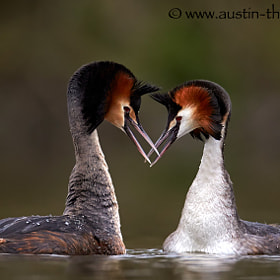 A pair of GreatCrested Grebes sharing some love.