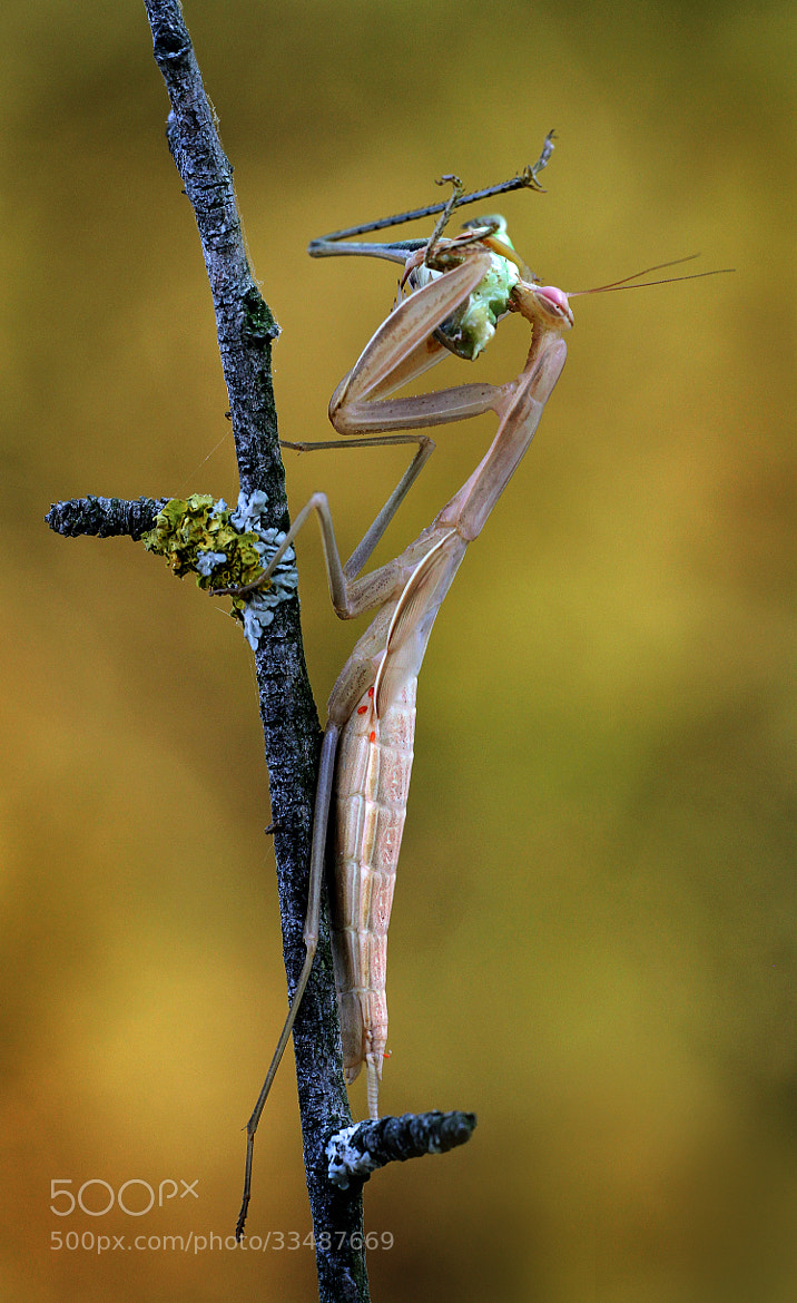 Photograph mantis by ivo pandoli on 500px