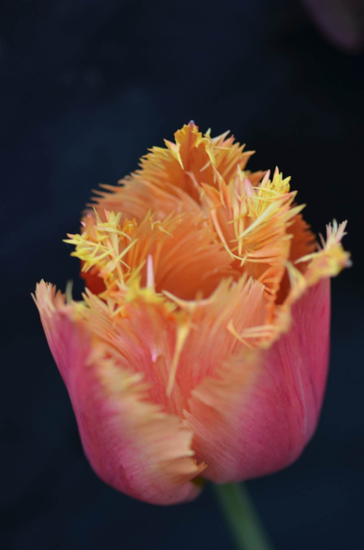 Photograph Frilly tulip by Martyn Addison-Smith on 500px