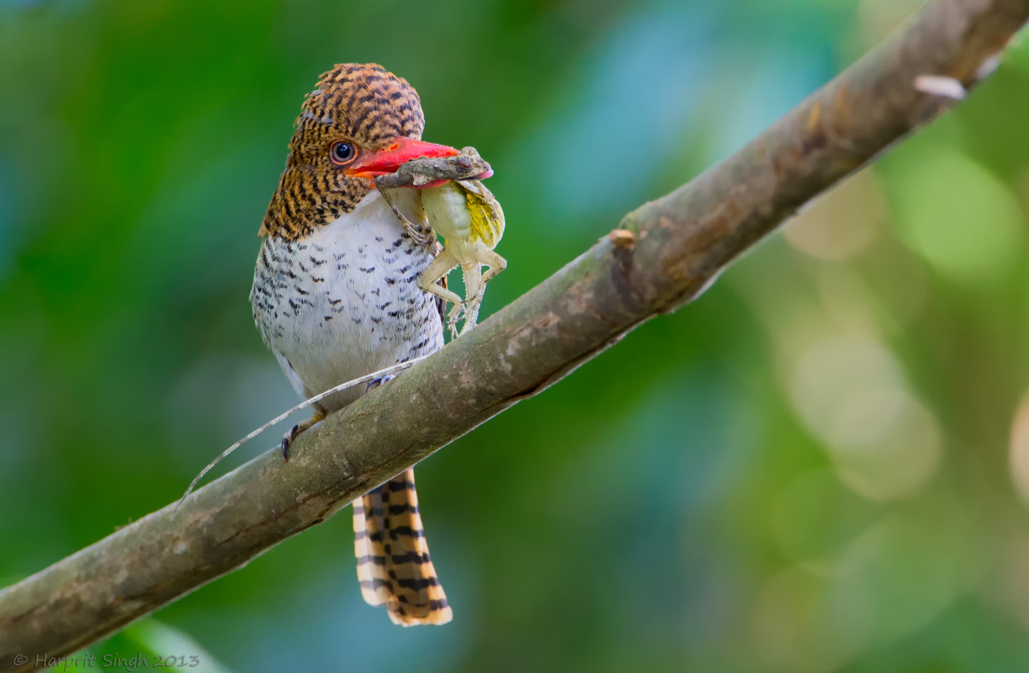 Photograph Banded Kingfisher (Female) with a Flying Lizard meal. by Harprit Singh on 500px