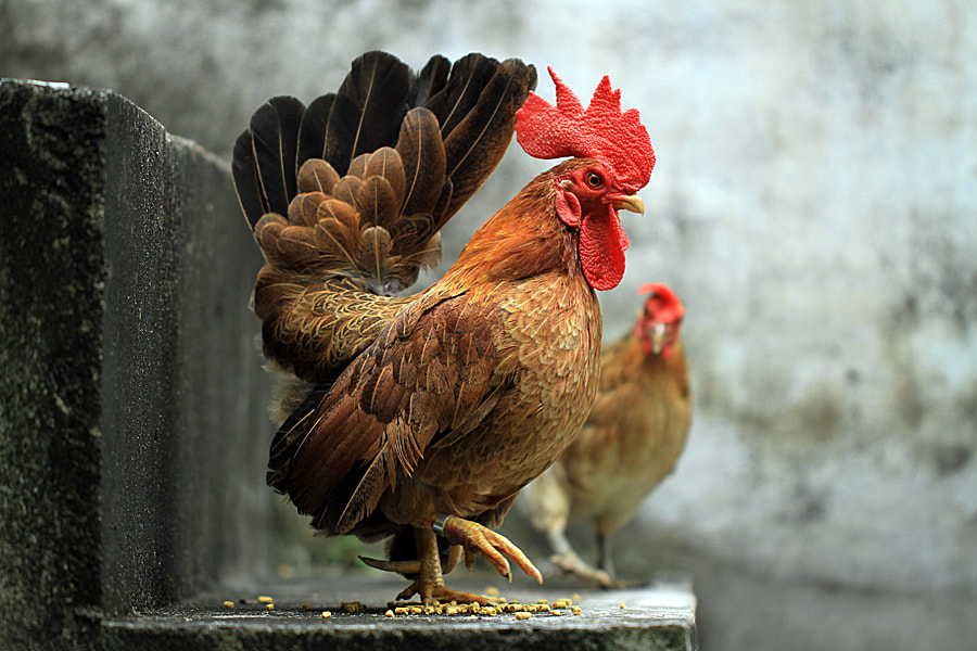 Photograph Ayam Serama@ by Sirajuddin Halim on 500px
