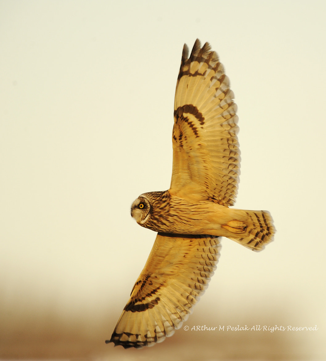 Photograph Short-Eared Owl by Art Peslak on 500px