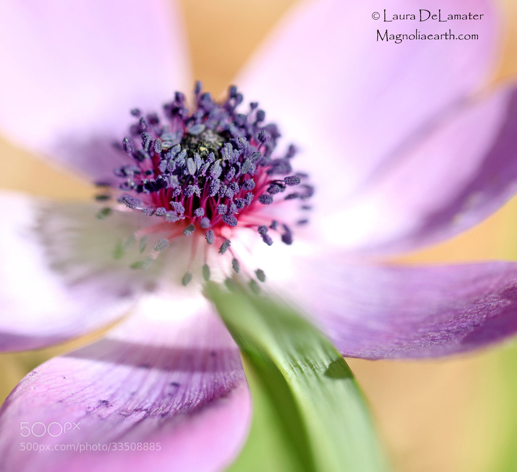 Photograph Purple Passion by Laura DeLamater on 500px