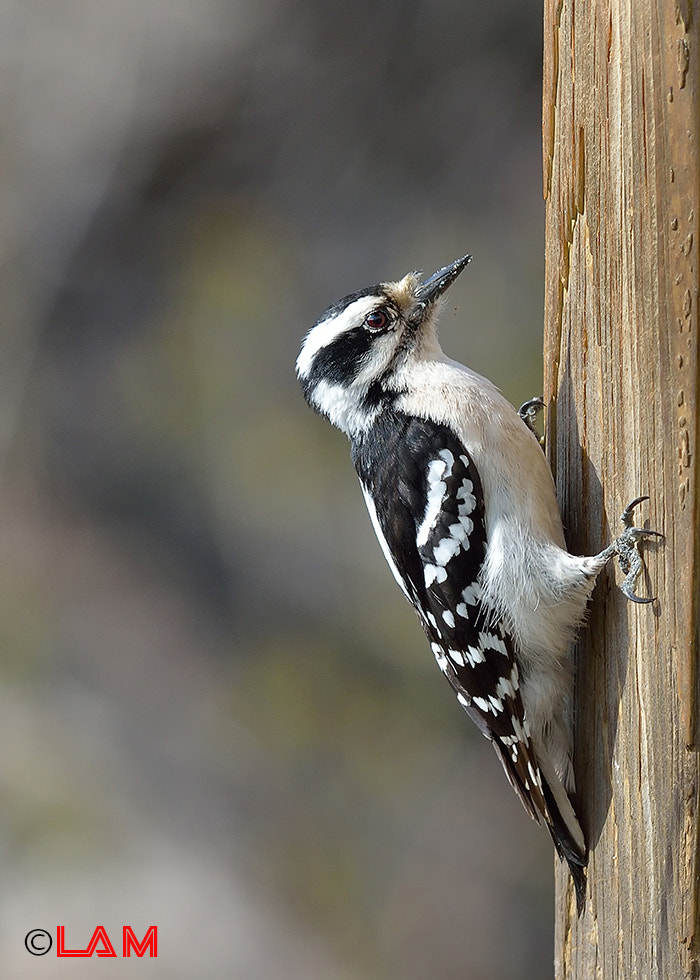 Photograph Downy Woodpecker by LAM- Photography on 500px