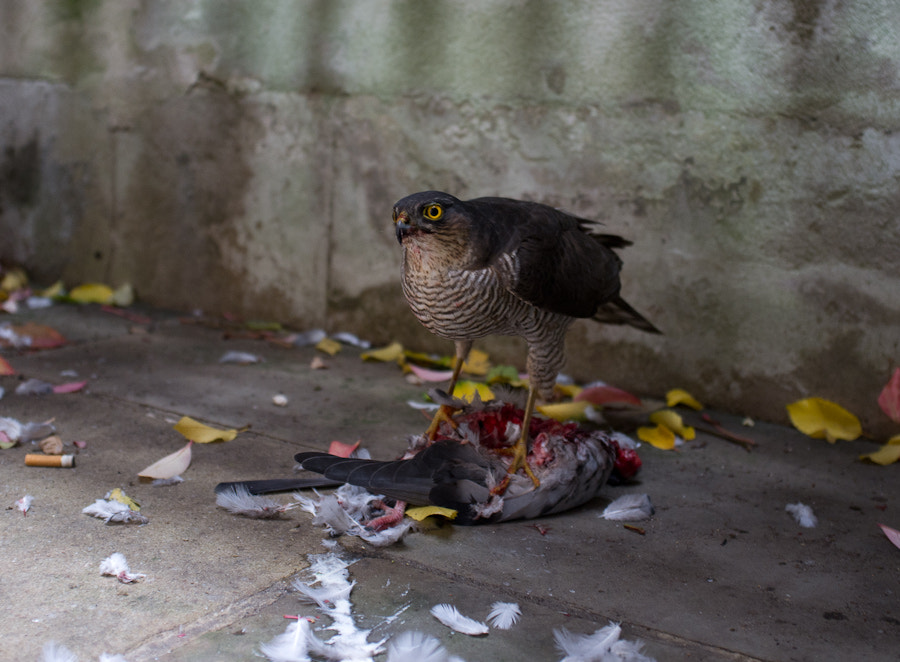 Sparrowhawk Lunch
