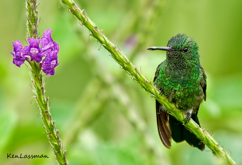 These little guys do not sit still for too long.  There are so many different Hummingbird species in Costa Rica...I think this is a Steel Vented Hummingbird...hopefully someone out there will correctly ID this little beauty
