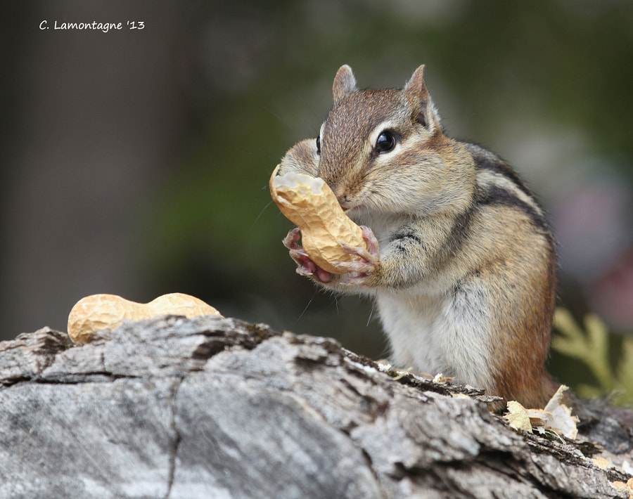Chipmunk in my yard last summer. He was very friendly and eats from my hand. I named him Cheeky, a name suggested to me by my friend Barbaralynne. I was happy to see he made it through this past winter and is looking very healthy :)