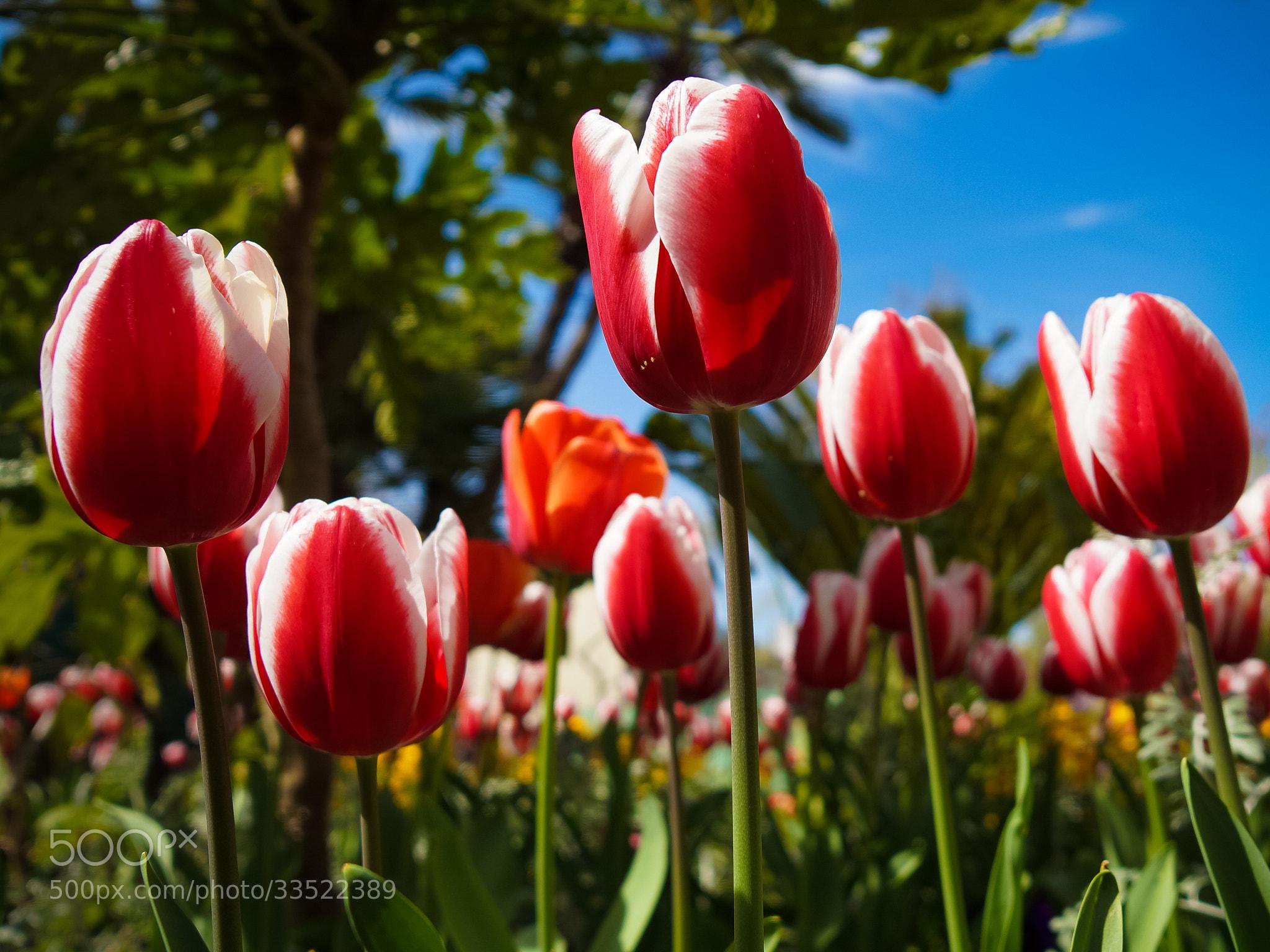 Photograph tulipes by Eric Vermeil on 500px