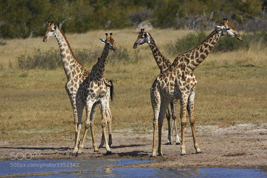 A typically muddled journey of Giraffe, taken in kwange National Park, Zimbabwe