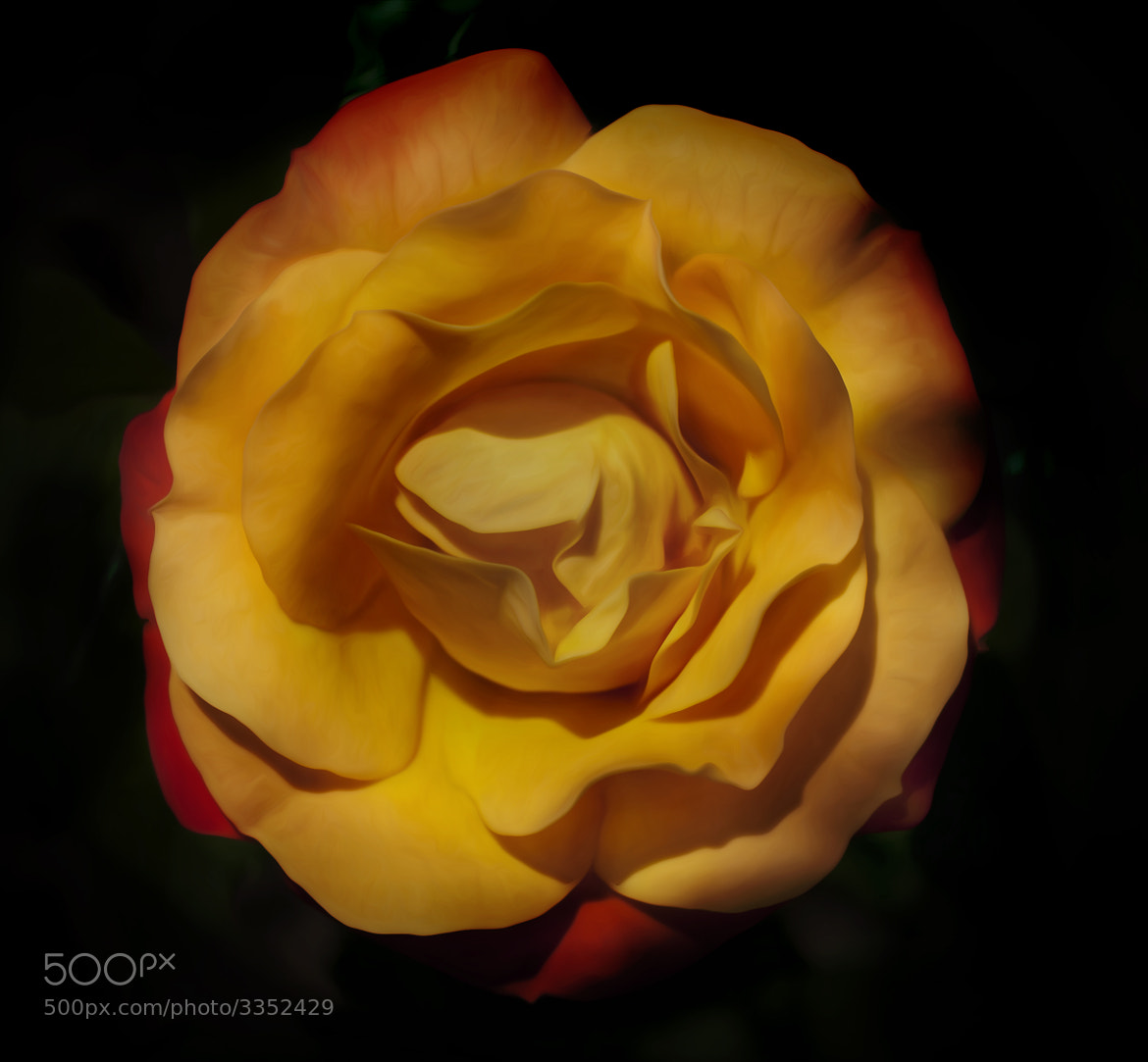 Photograph Yellow Rose by Ivelina  Aasen on 500px