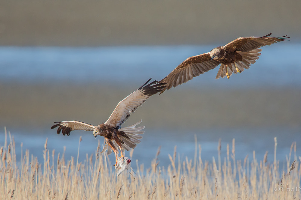 Photograph Marsh Harrier Male and Female by Eric D on 500px